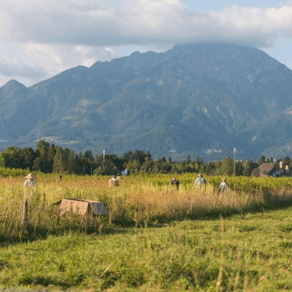 Žetev ekološke konoplje na kmetiji pr Šmajd